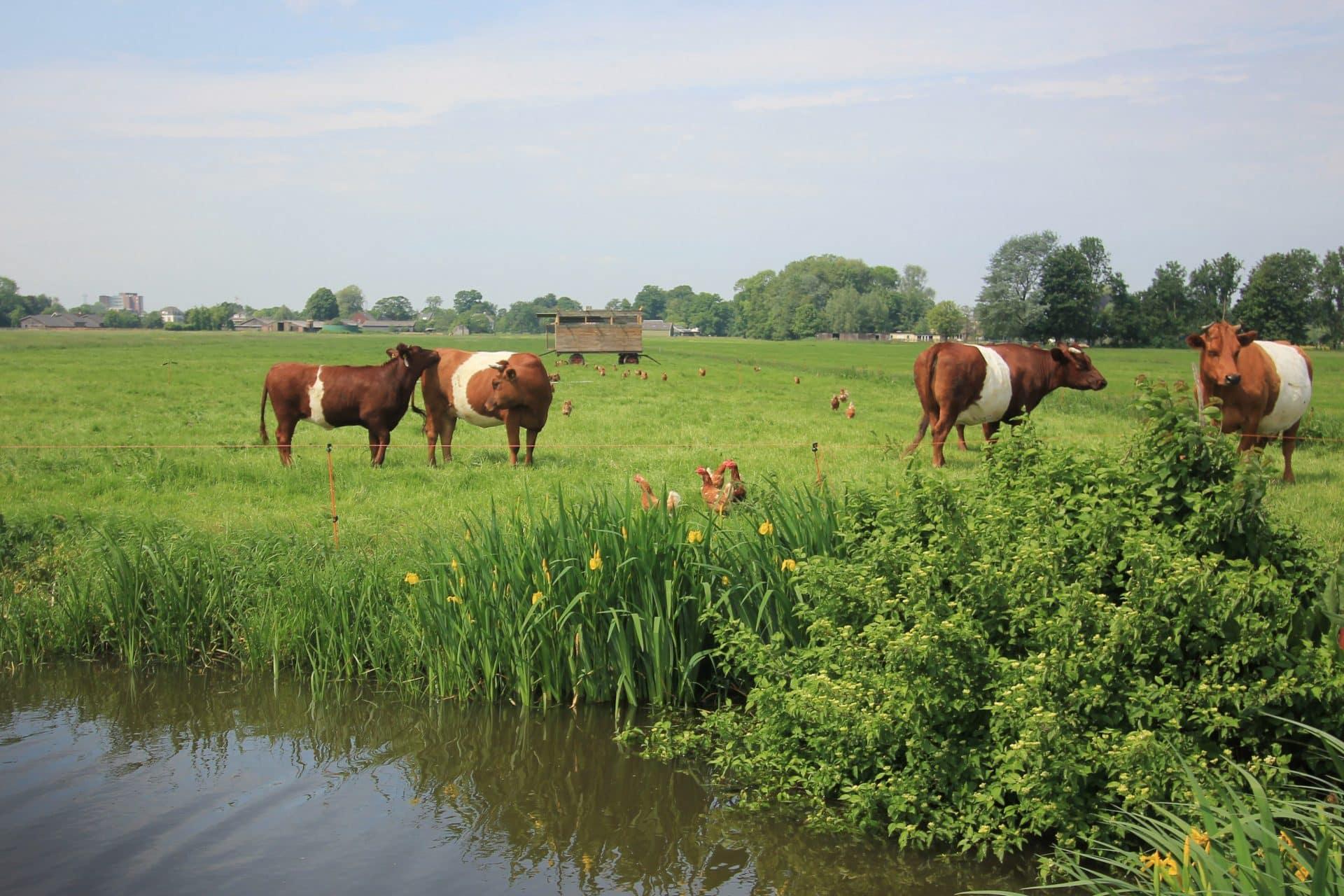 Koeien en kippen scharrelen in Breukelen uitgeknipt
